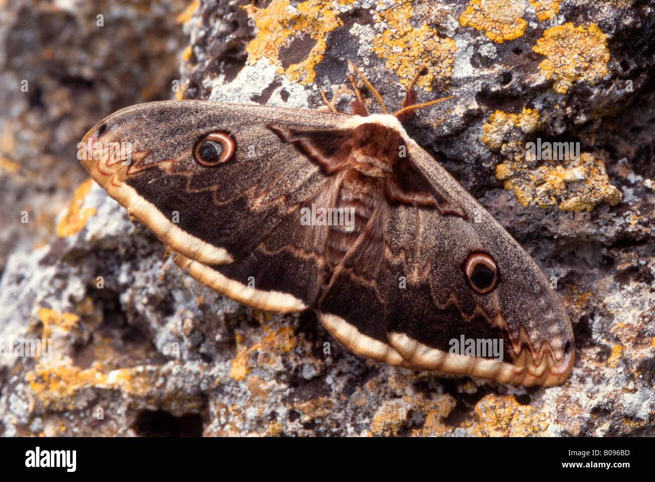 Giant Peacock Moth or Great Emperor Moth (Saturnia pyri) Stock Photo