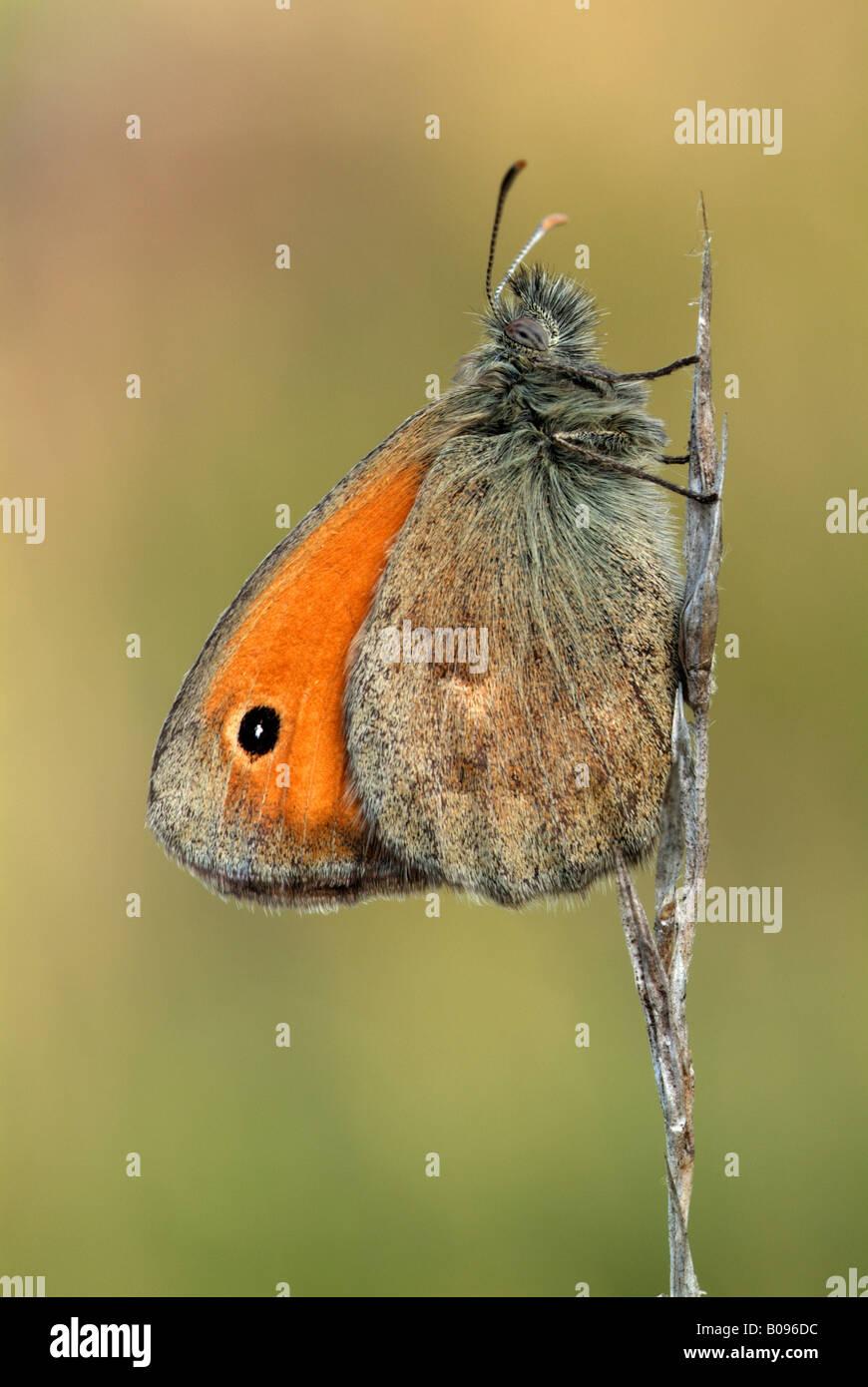 Small Heath butterfly (Coenonympha pamphilus), Feldthurns, Bolzano-Bozen, Italy - Stock Image