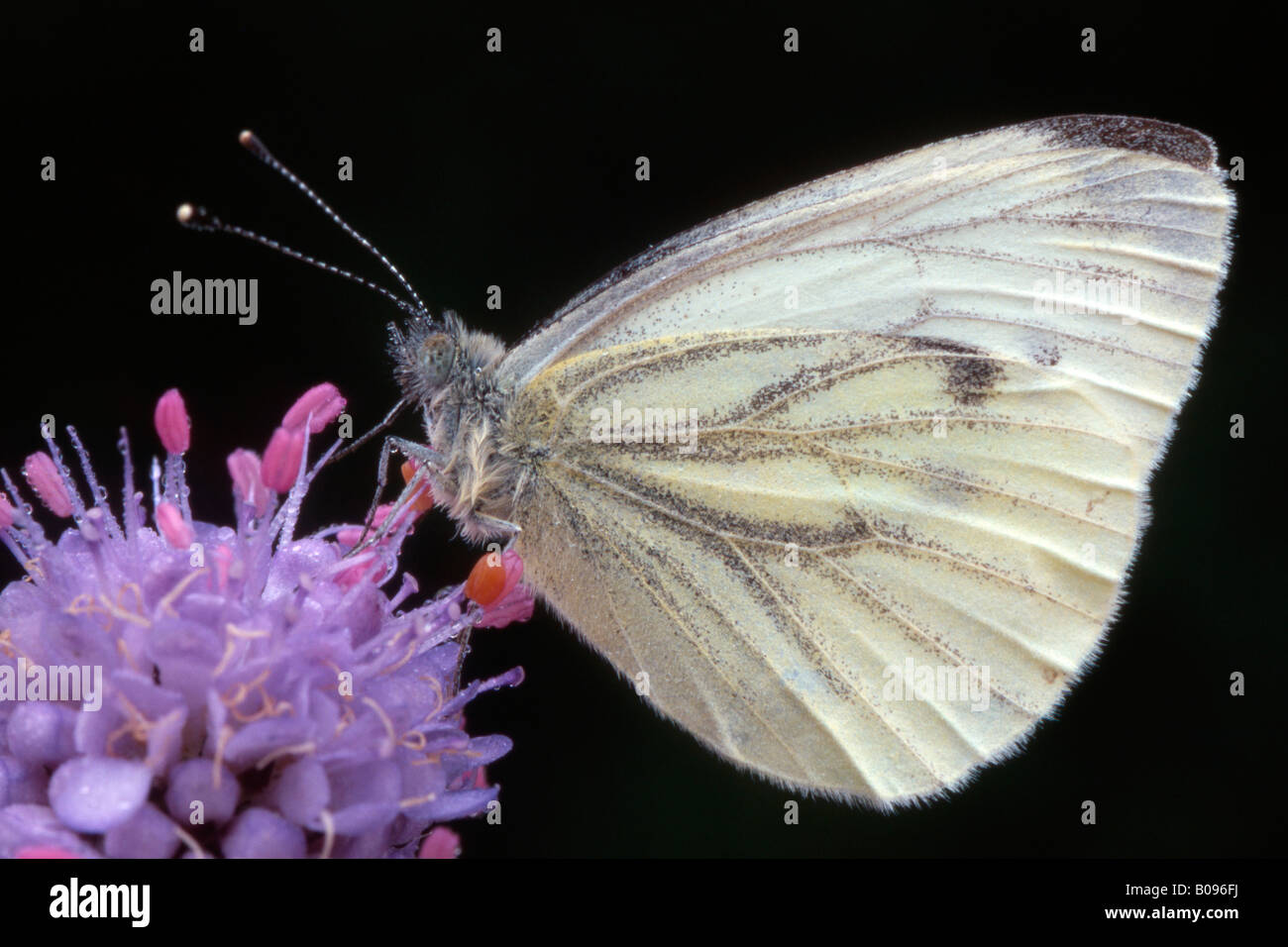 Green-veined White butterfly (Pieris napi) perched on a blossom, Tirol, Austria - Stock Image