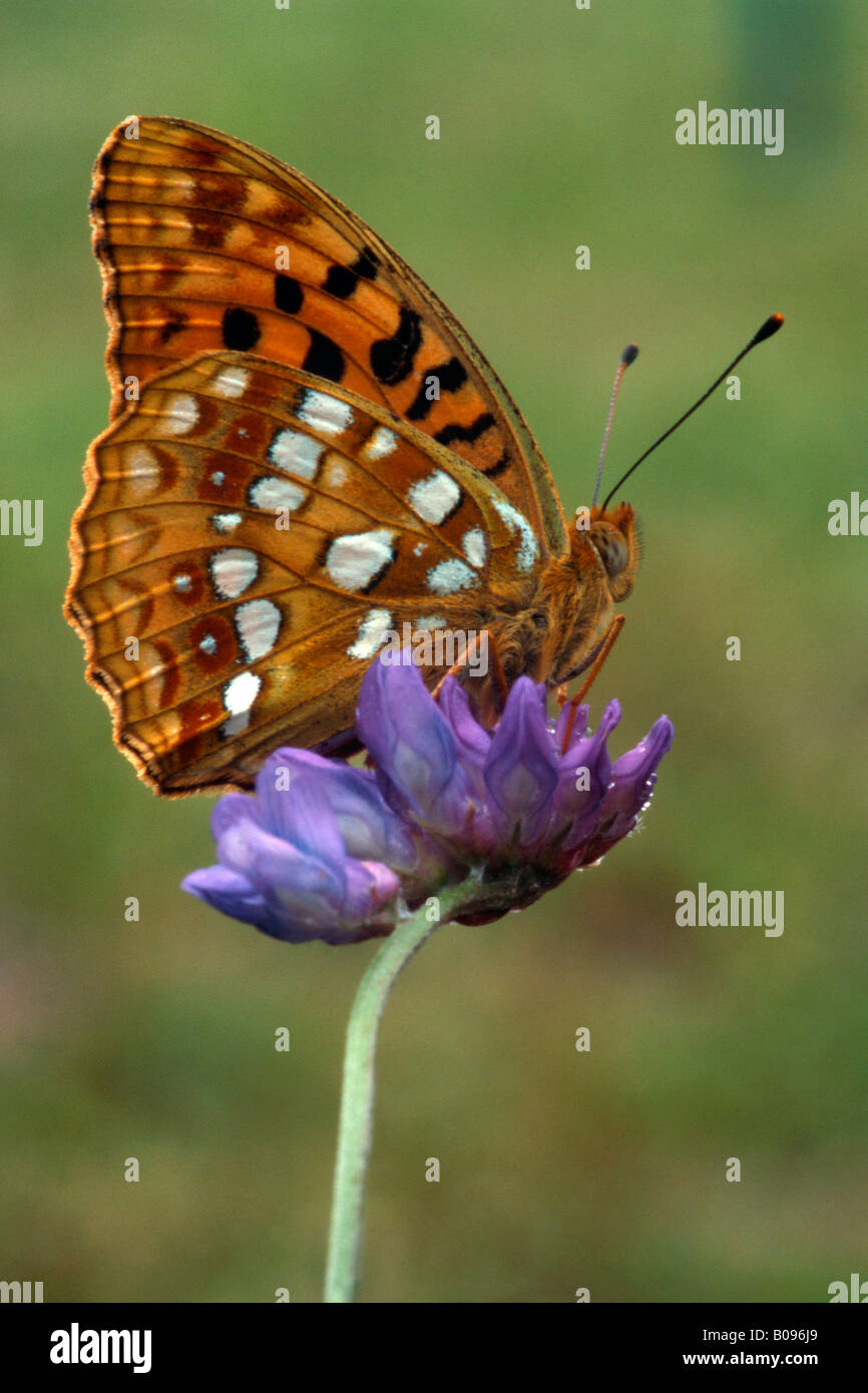 Niobe Fritillary butterfly (Argynnis niobe) perched on a purple blossom, Kramsach, Tirol, Austria Stock Photo