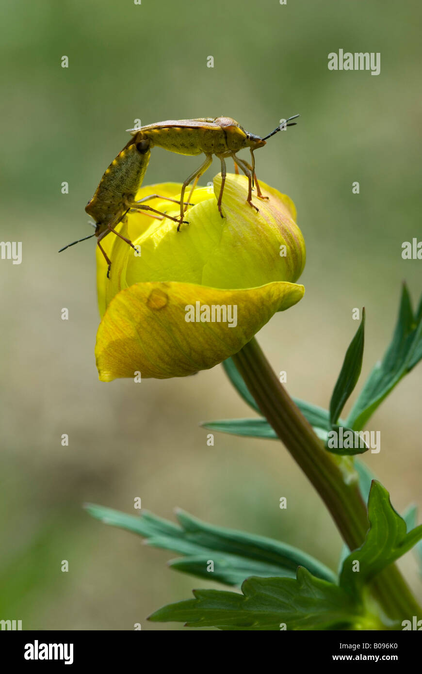 Sloe Bugs (Dolycoris baccarum) perched on a Globe Flower or Globeflower (Trollius europaeus), Lake Riedenersee, - Stock Image