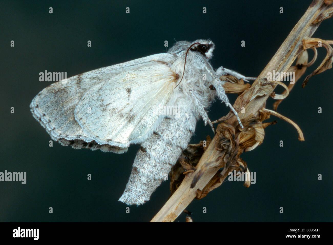 Miller Moth (Acronicta leporina), Tirol, Austria - Stock Image