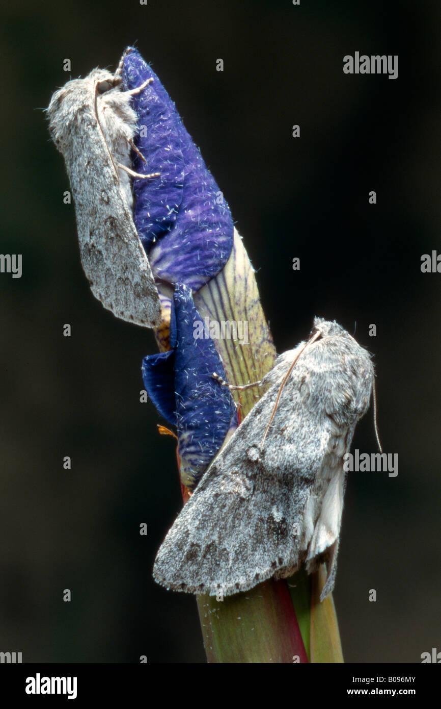 Two Miller Moths (Acronicta leporina), Tirol, Austria - Stock Image
