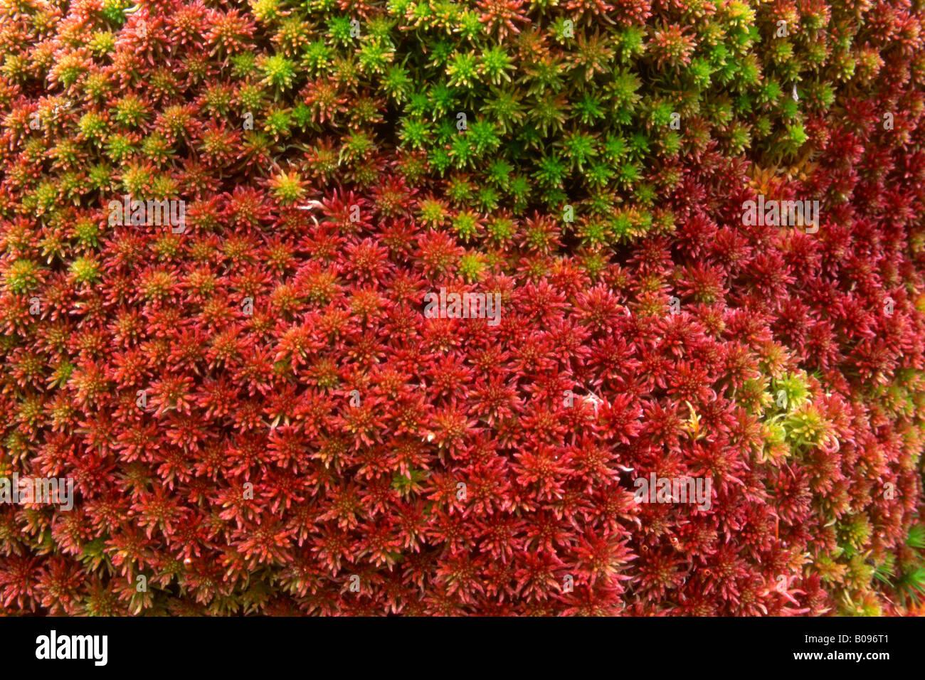 Magellan's Peatmoss or Midway Peat Moss, (Sphagnum magellanicum), Risstal, Tirol, Austria - Stock Image
