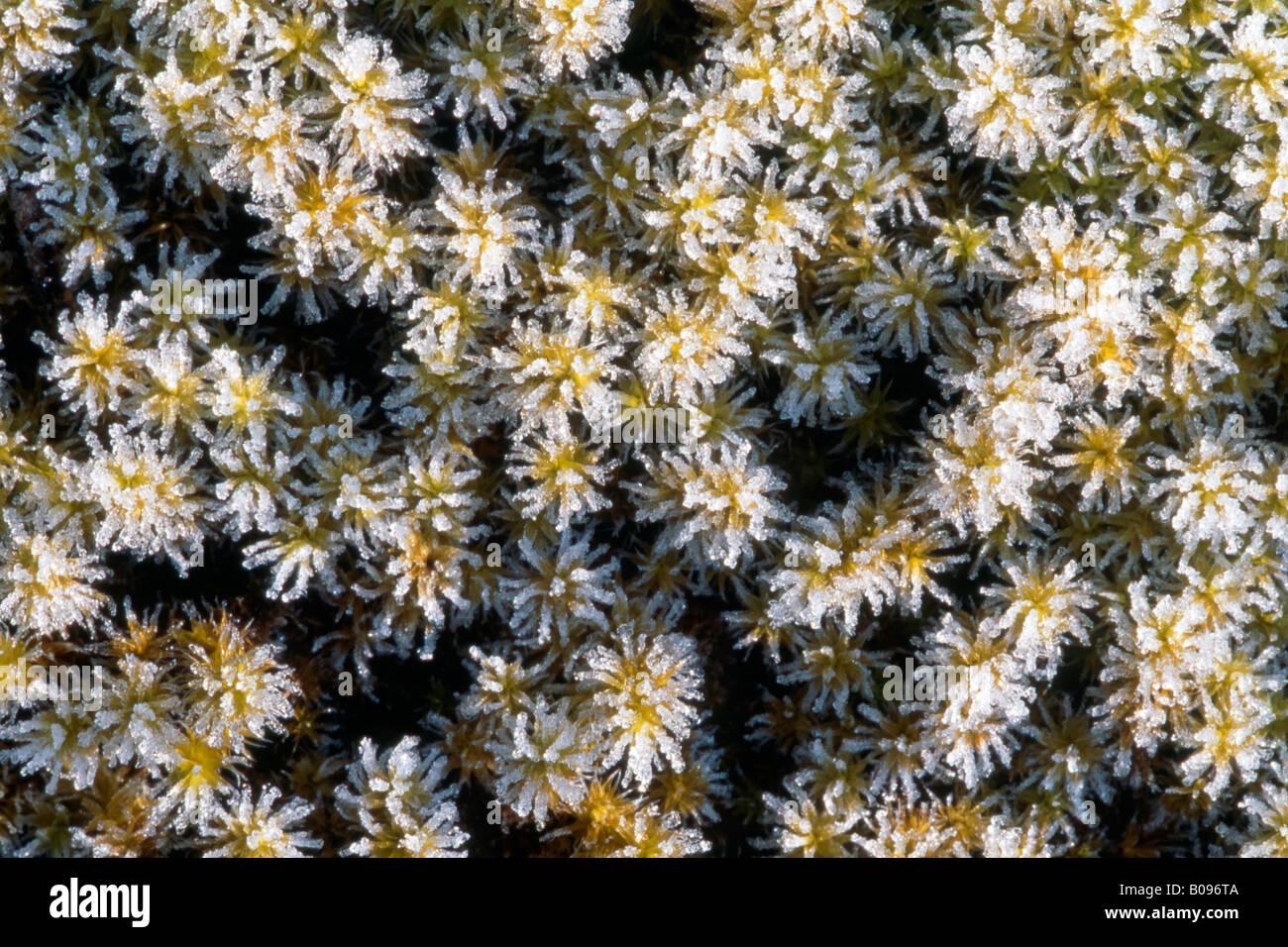 Springy Turf-moss or Bent-leaf Moss (Rhytidiadelphus squarrosus), Tirol, Austria - Stock Image