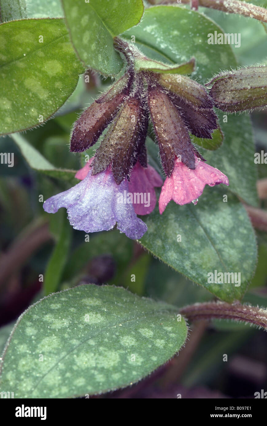 Lungwort (Pulmonaria officinalis), Eichenwald near Stams, Tyrol, Austria, Europe - Stock Image