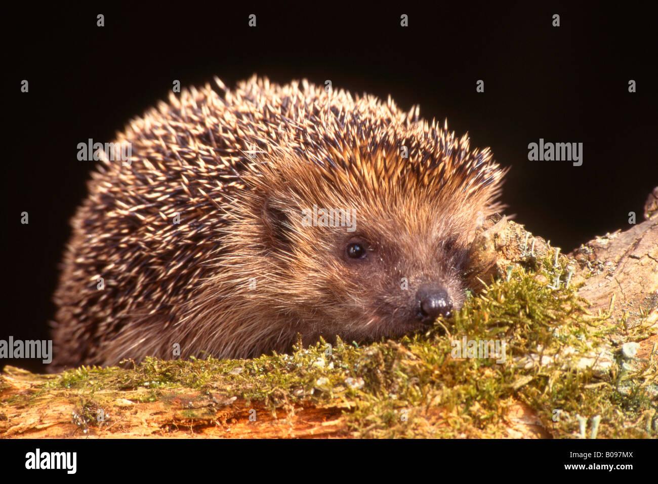 European Hedgehog (Erinaceus europaeus), Schwaz, Tyrol, Austria, Europe - Stock Image