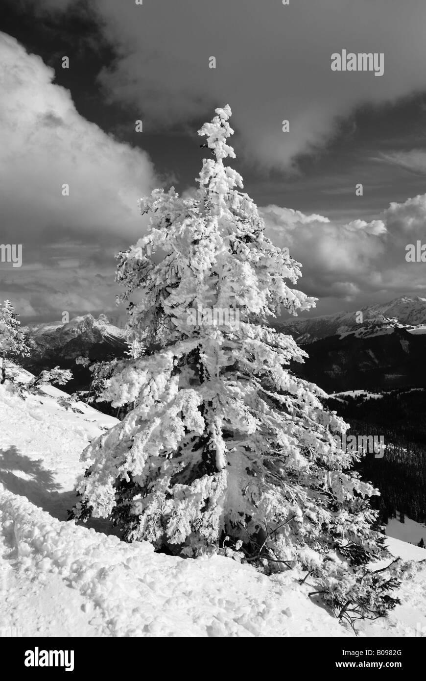 Snow-covered spruce tree (Picea), high Alps, Chiemgau, Bavaria, Germany - Stock Image