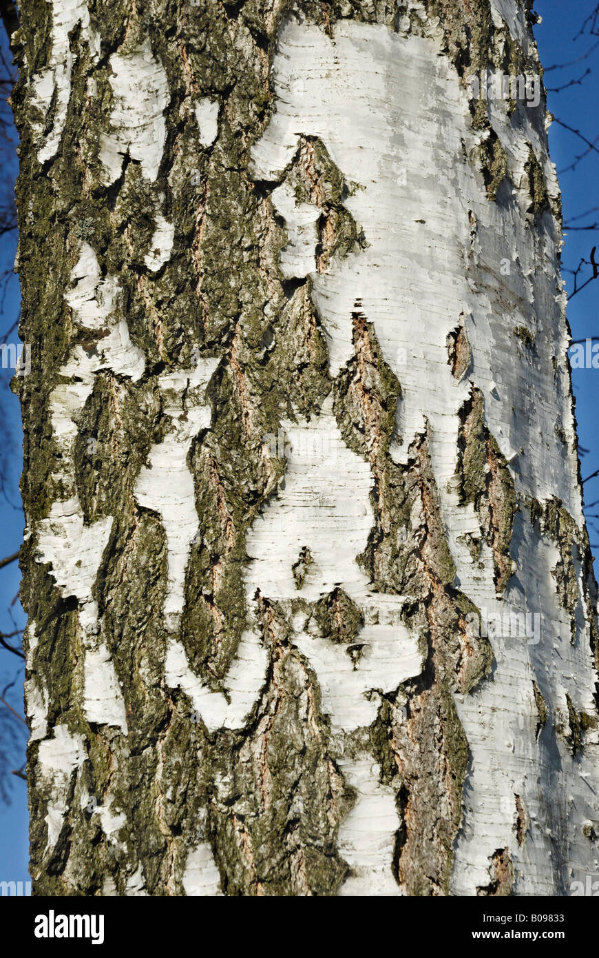 Cracked White Birch bark (Betula pubescens) Stock Photo