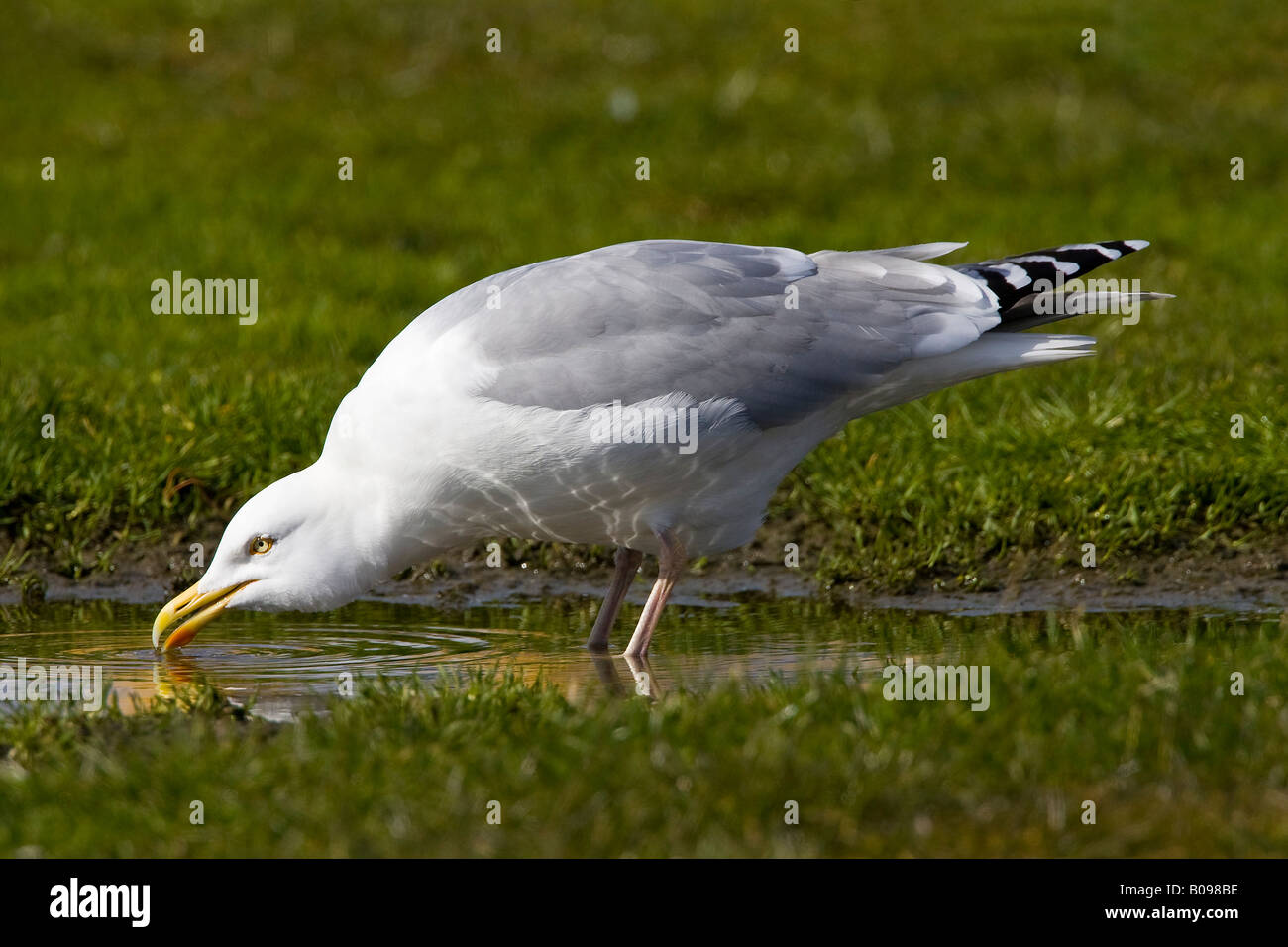 Herring Gull (Larus argentatus) drinking water from a puddle, Buesum, North Sea coast, Schleswig-Holstein, Germany - Stock Image