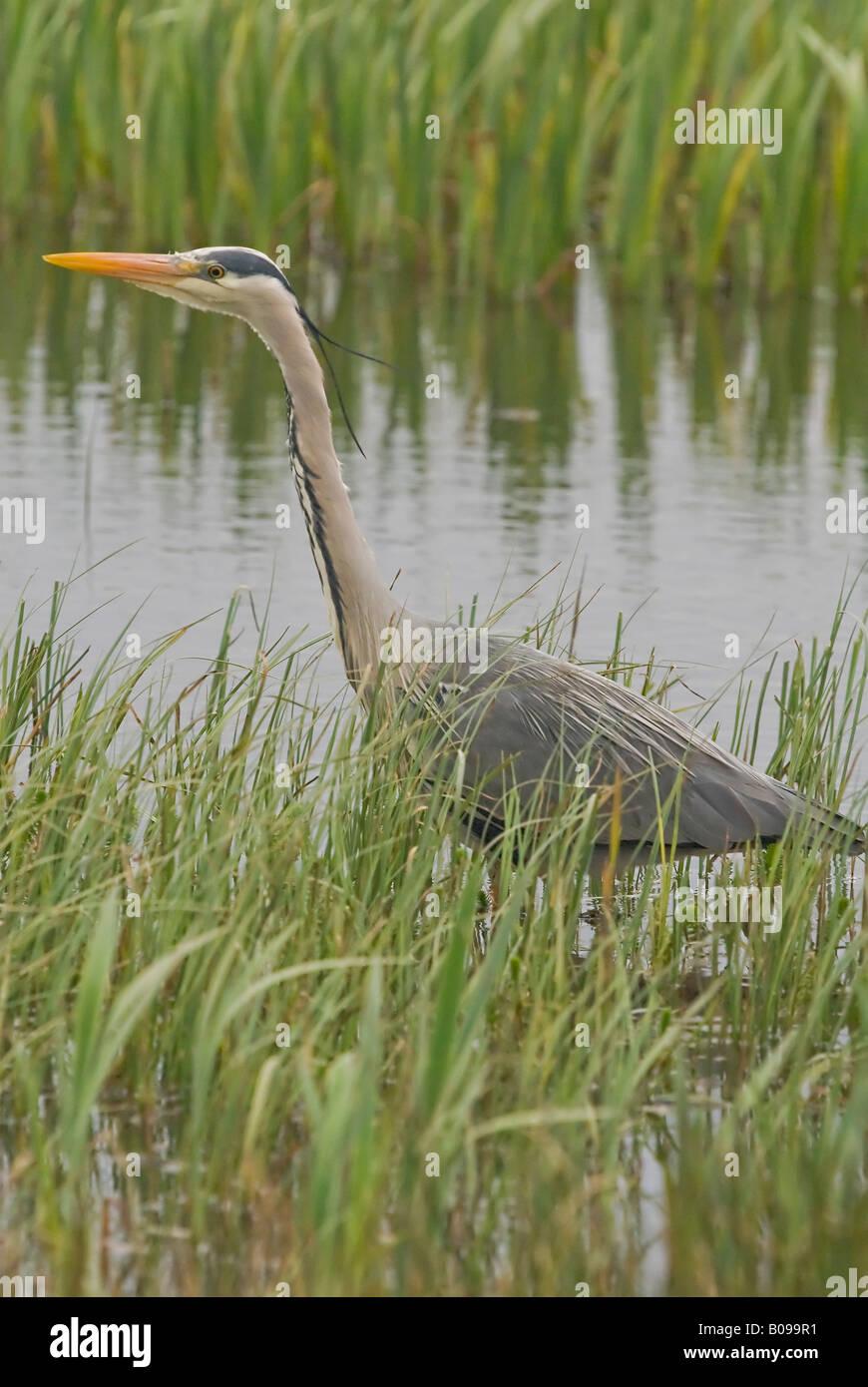 Grey Heron Ardea cinerea fishing piscivore bird - Stock Image