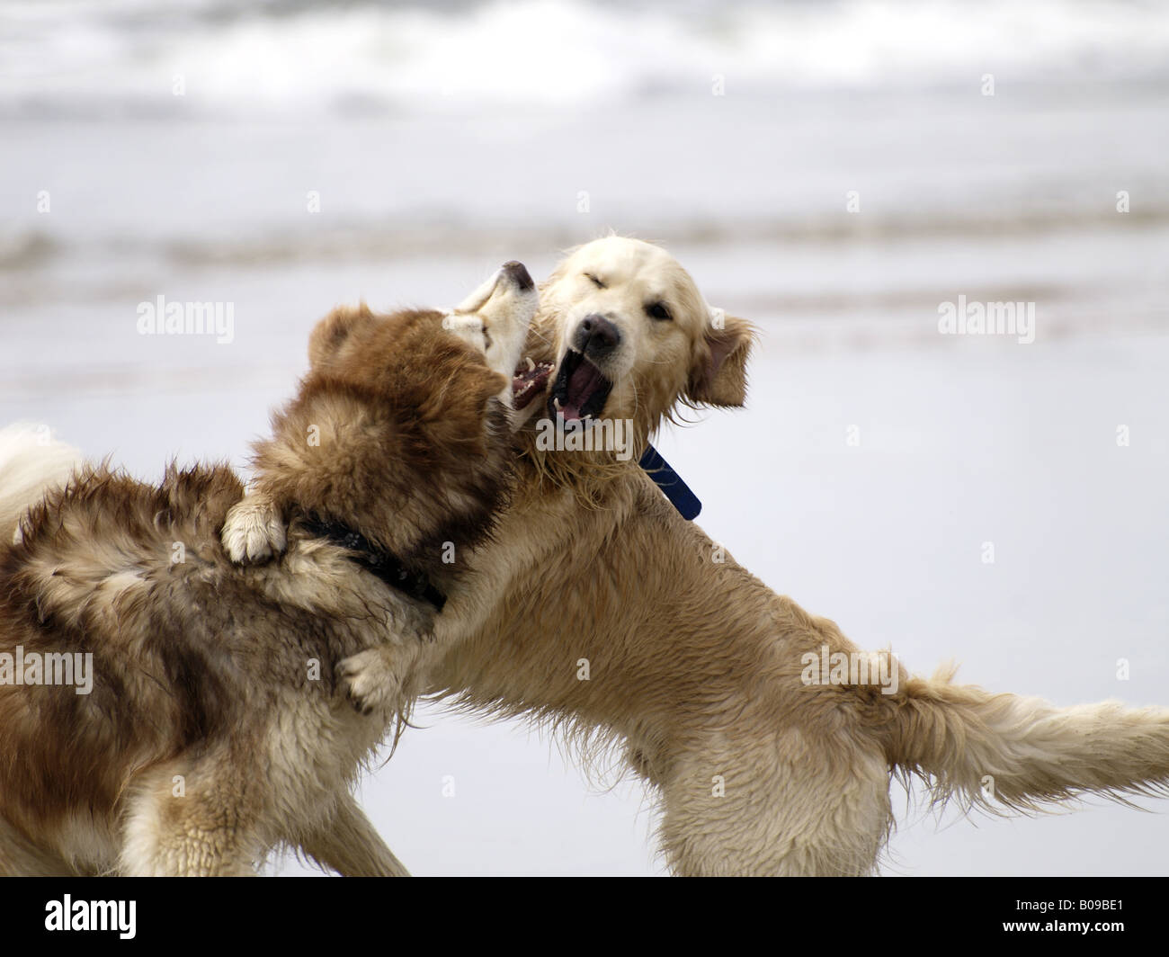 Two dogs fighting - Stock Image