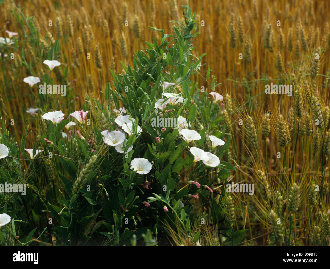 Field bindweed Convolvulus arvensis annual flowering arable weed in a wheat crop France - Stock Image