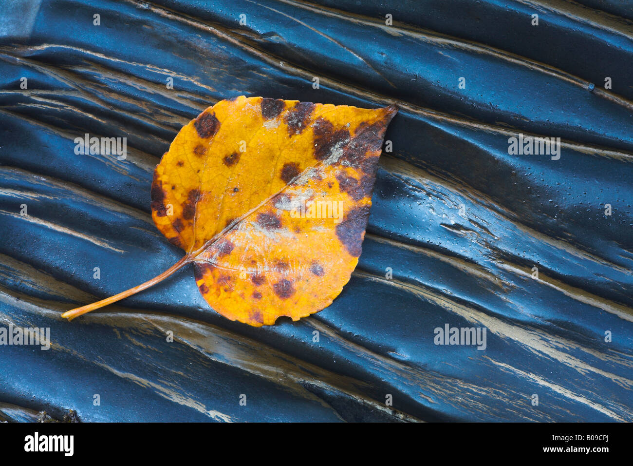 Fallen leaf on wet rocks, Yoho National Park, Canada - Stock Image