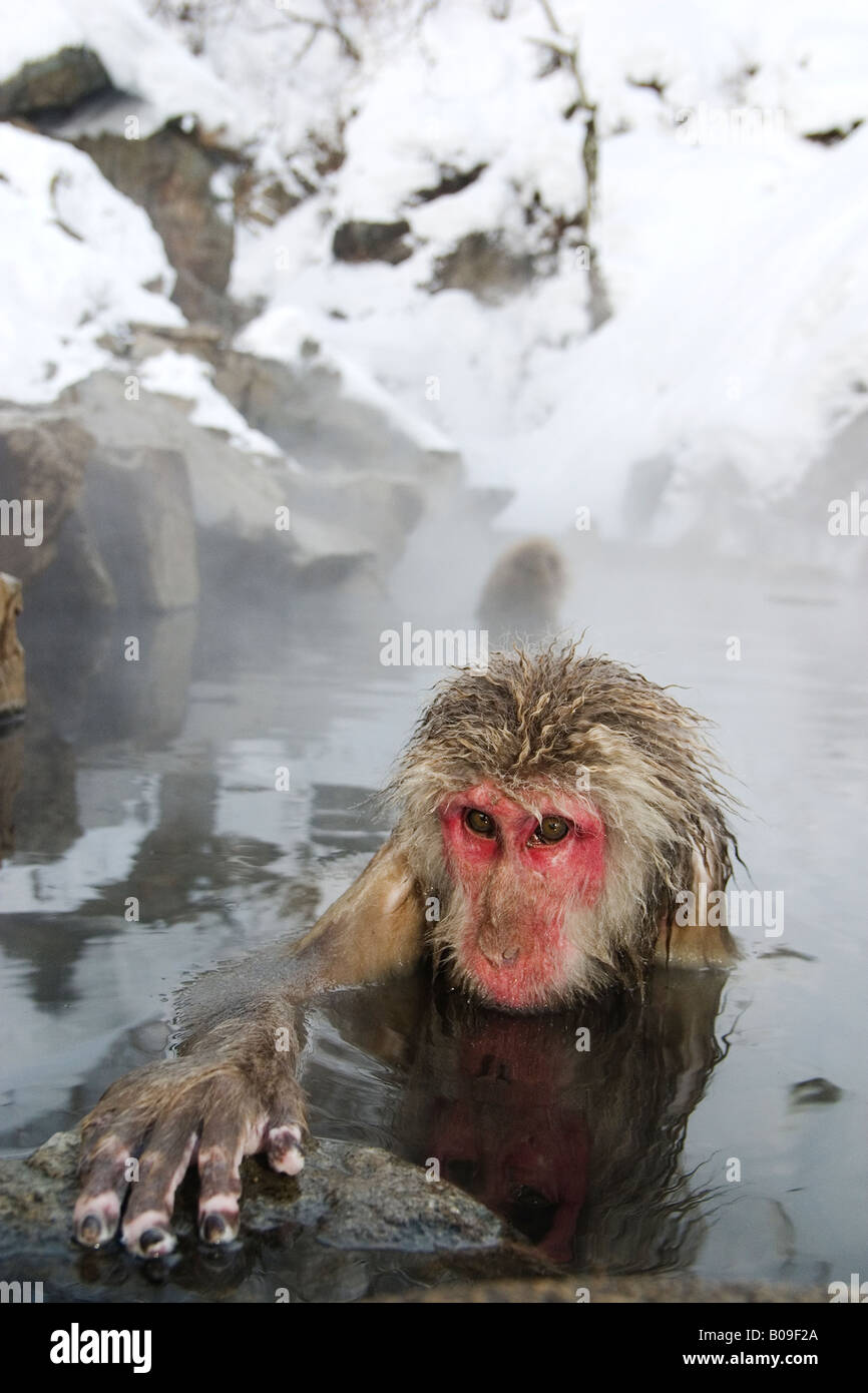 An elderly snow monkey (macaca fuscata) bathes in a hot spring, Japan. - Stock Image