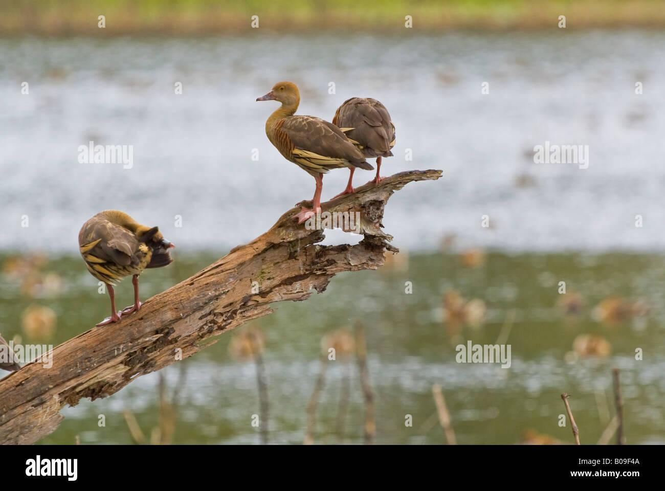 Plumed whistling ducks, queensland, australia Stock Photo