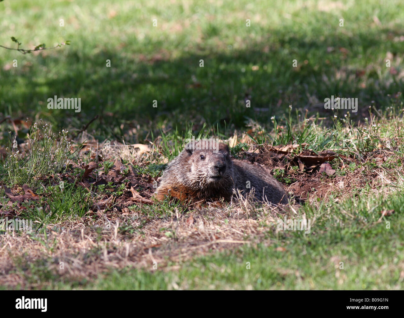 Woodchuck Groundhog at its burrow. - Stock Image