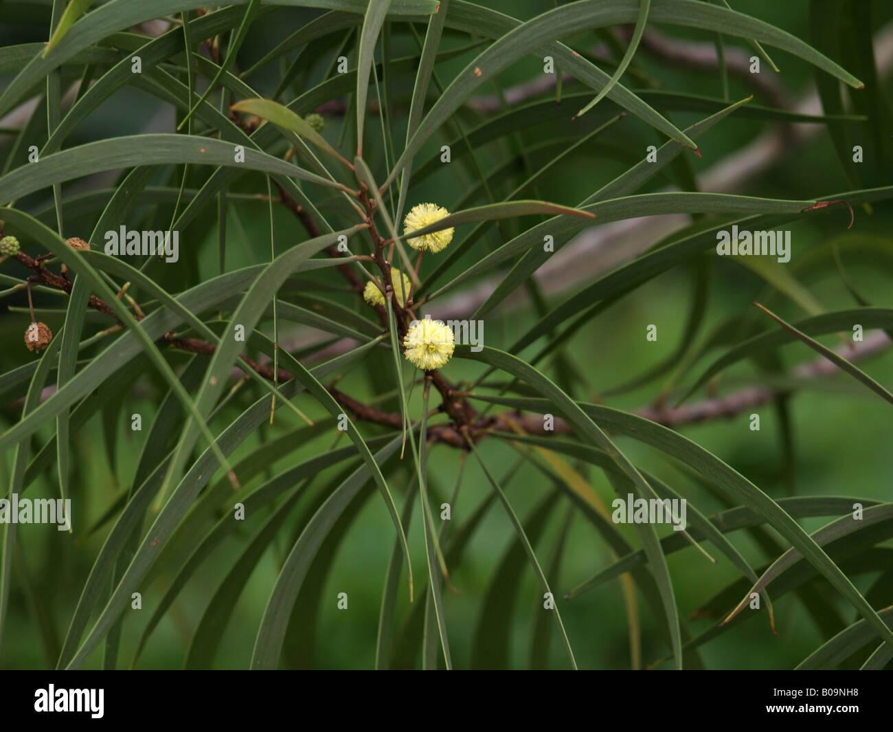 Koa tree stock photos koa tree stock images alamy hawaiian koa flowers acacia tree stock image izmirmasajfo Images