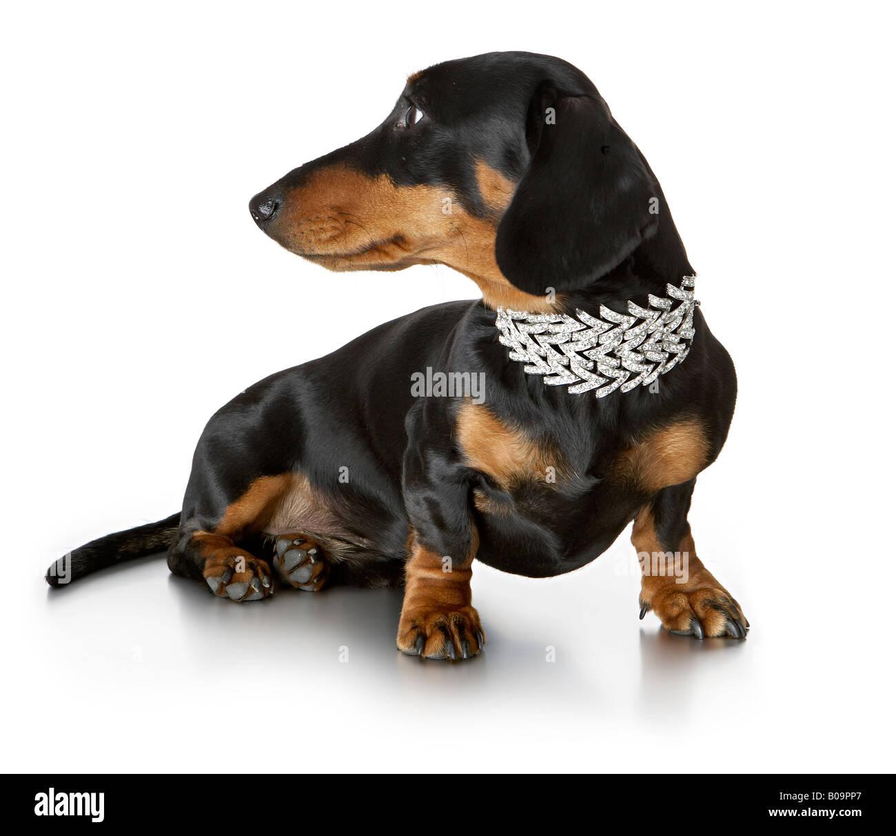 daschund in diamond collar - Stock Image