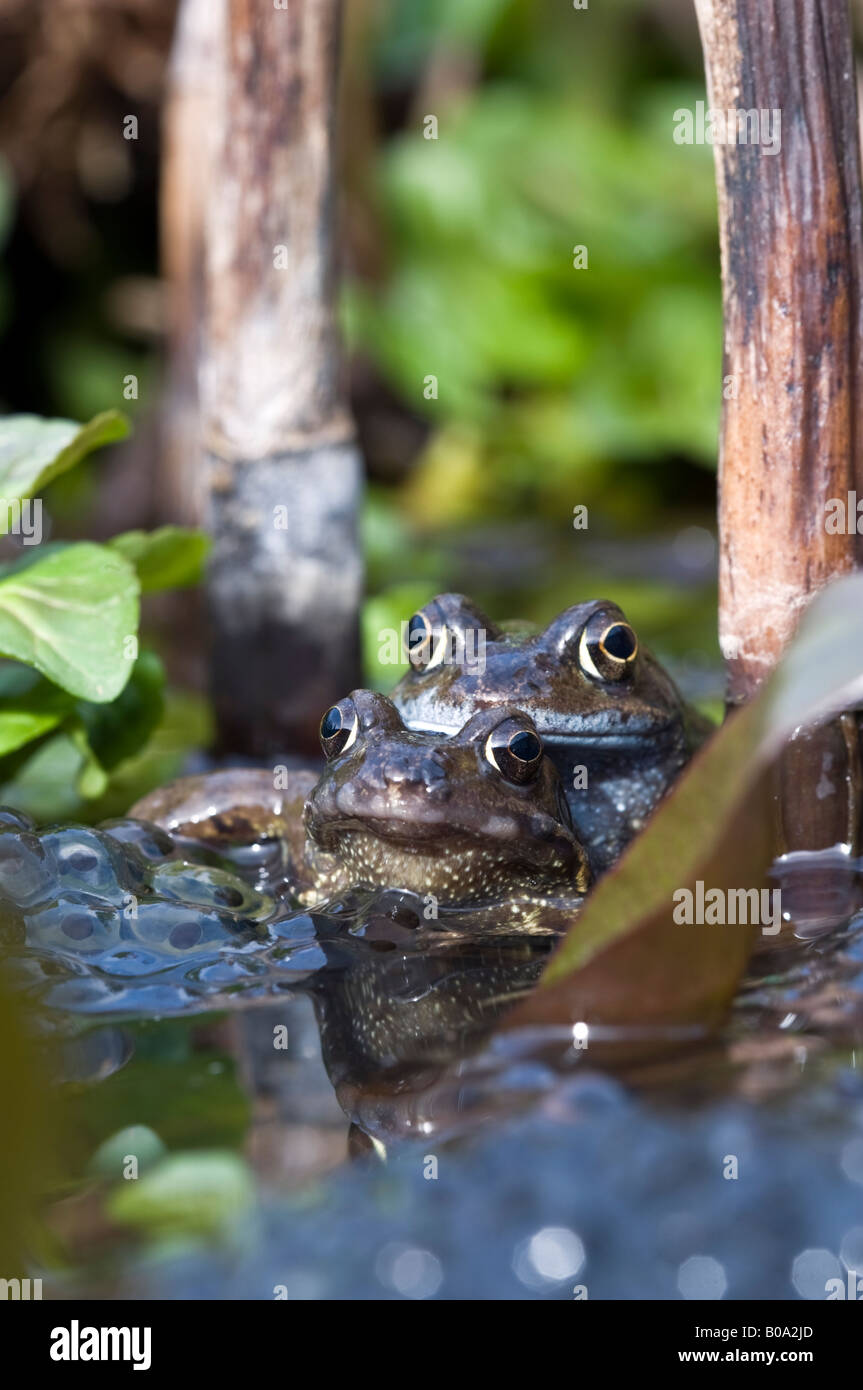 Pair of common frogs (rana temporaria) mating in a garden pond. - Stock Image