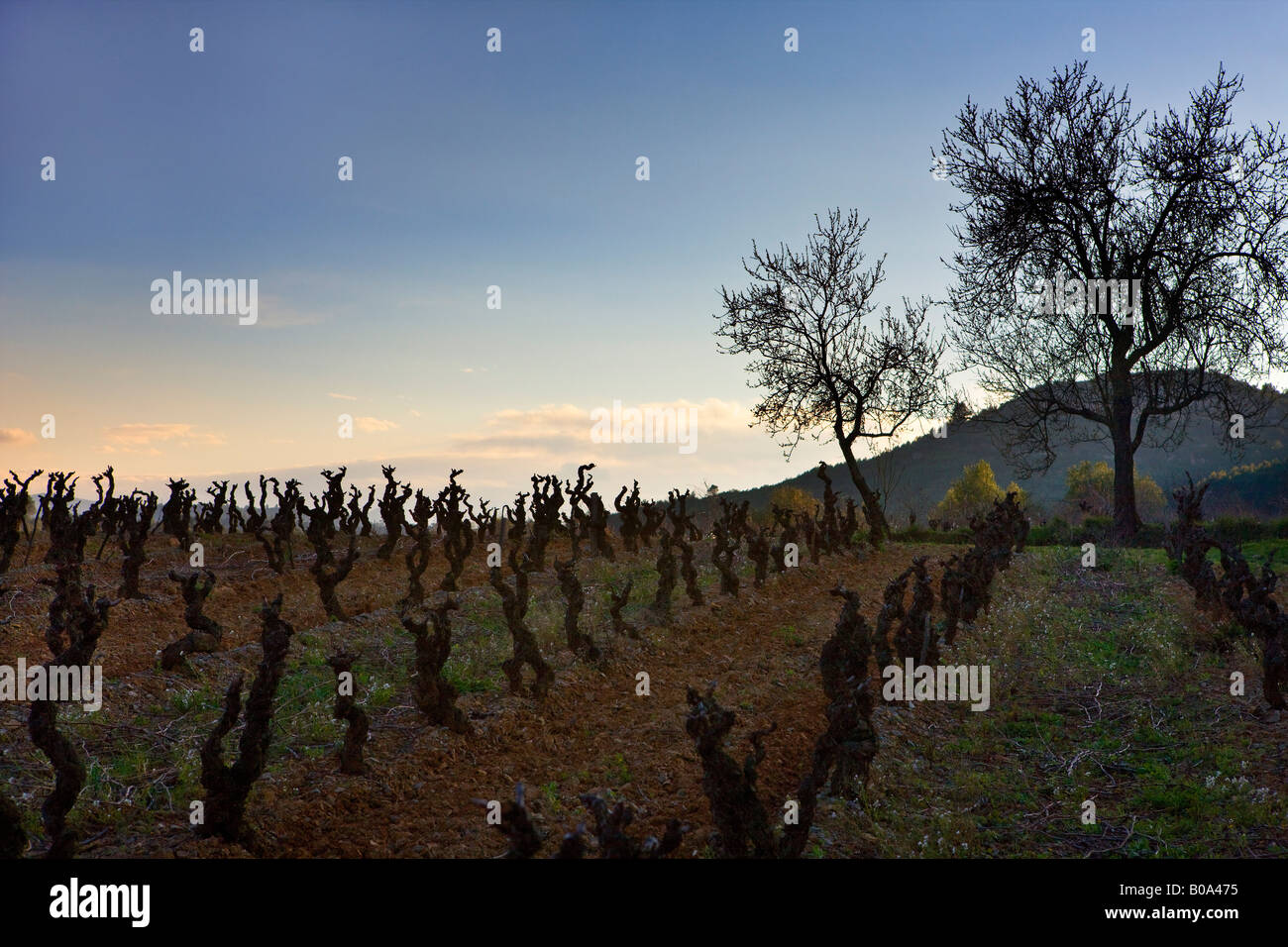rows of branching vines in a french vineyard - Stock Image