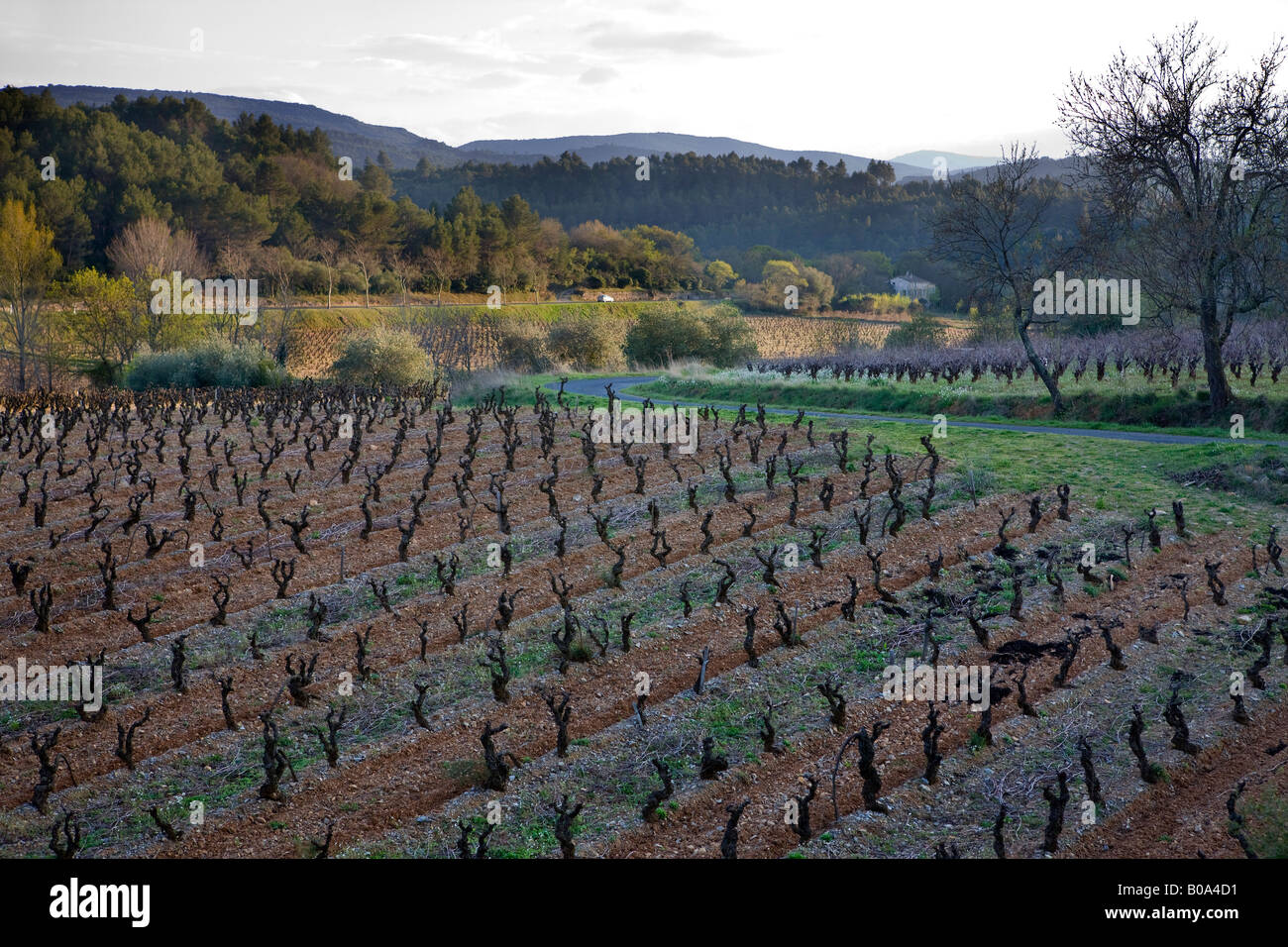 a field of rows of branching vines in a french vineyard - Stock Image