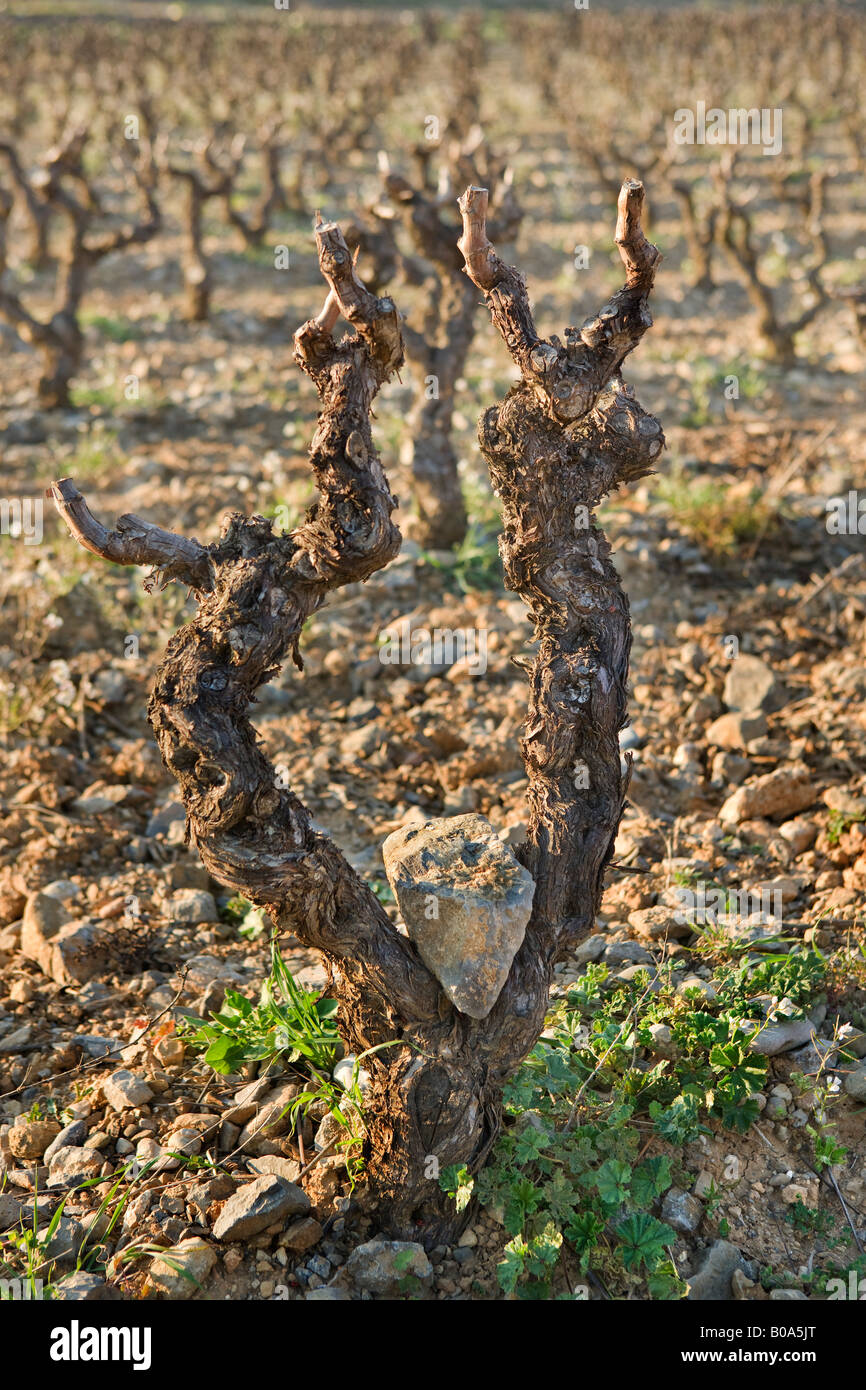 a rock balanced between the dry branches of a vine - Stock Image