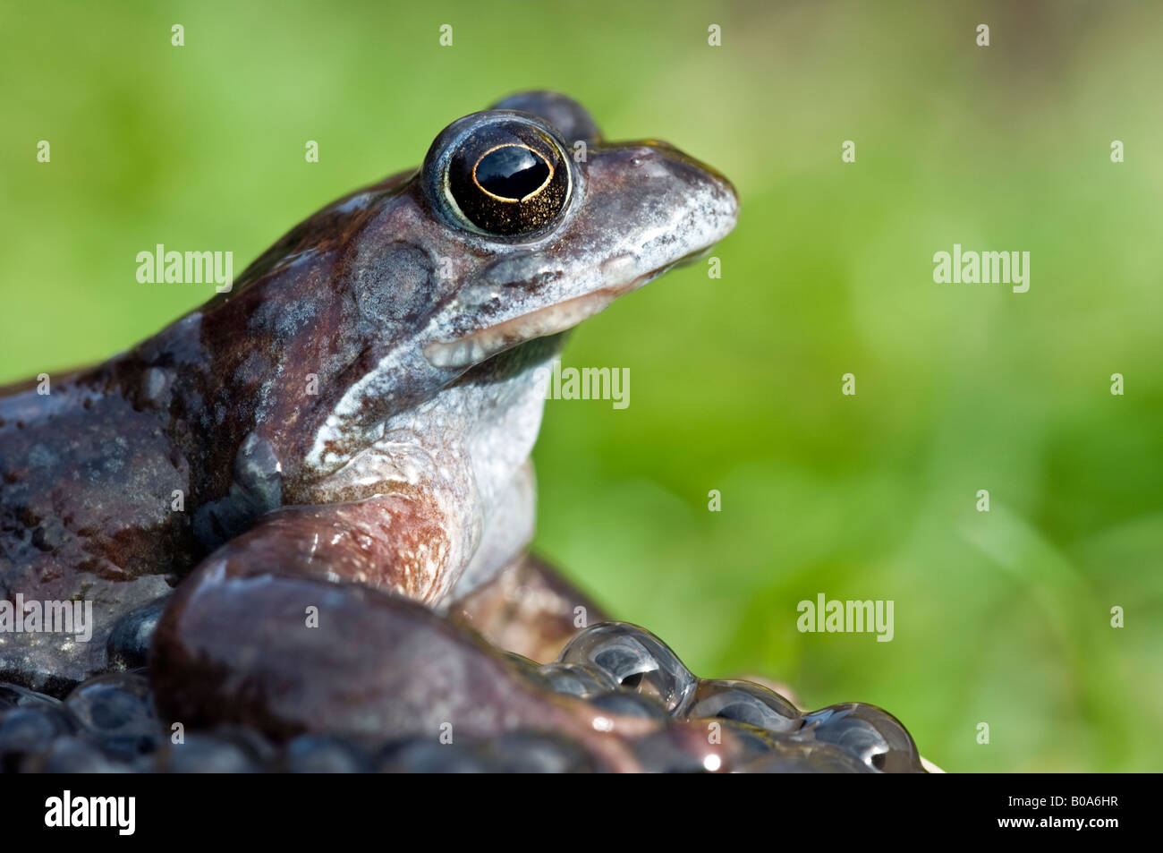 Female common frog (rana temporaria) with frogspawn in a garden pond. - Stock Image