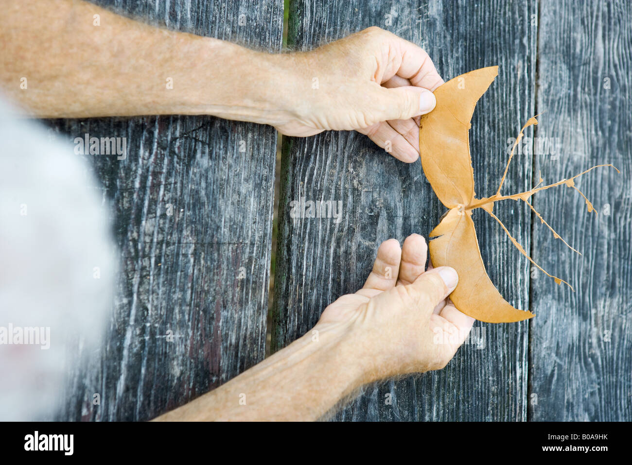 Man holding torn leaf, cropped, viewed from directly above - Stock Image