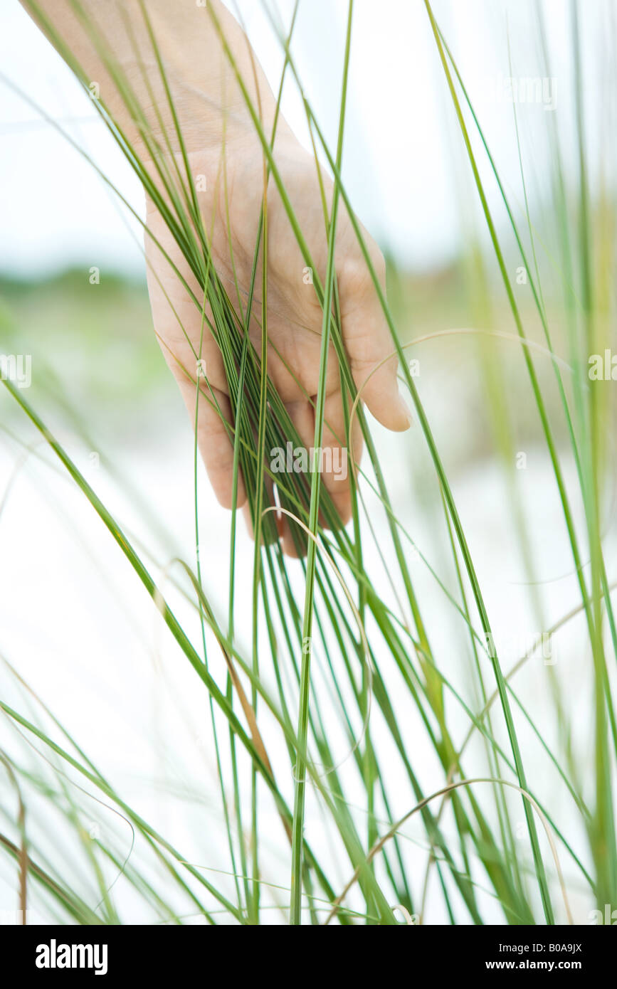 Hand touching dune grass, close-up - Stock Image