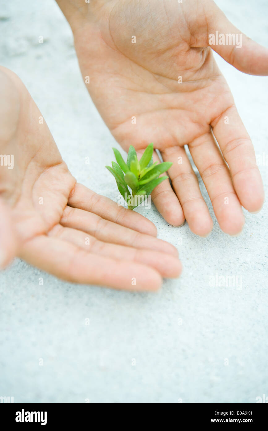 Cupped hands next to seedling growing in sand, cropped view - Stock Image
