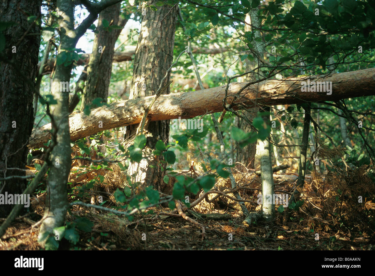 Fallen tree trunk in forest - Stock Image