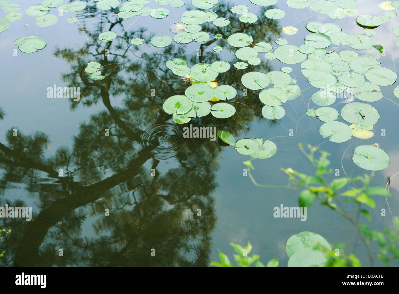 Lily pads in pond with reflection of tree branch Stock Photo