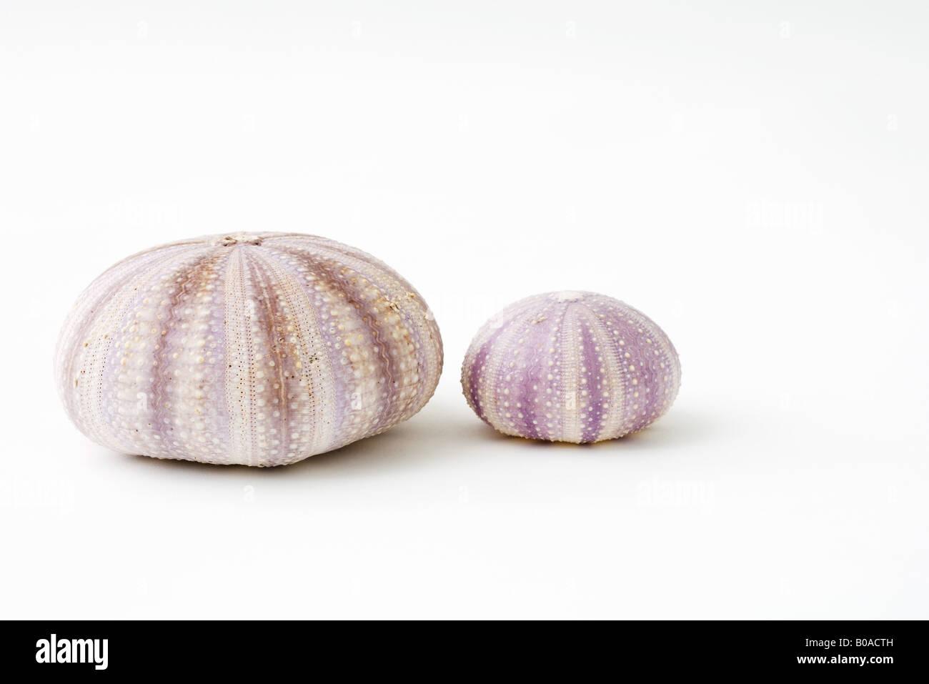 Dried sea urchin shells - Stock Image