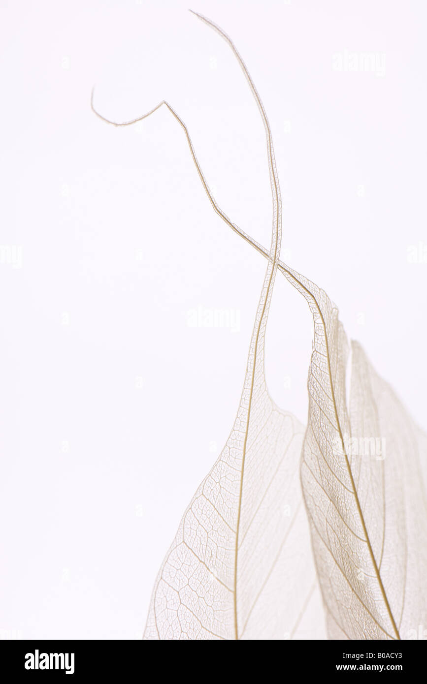 Translucent leaves, close-up - Stock Image