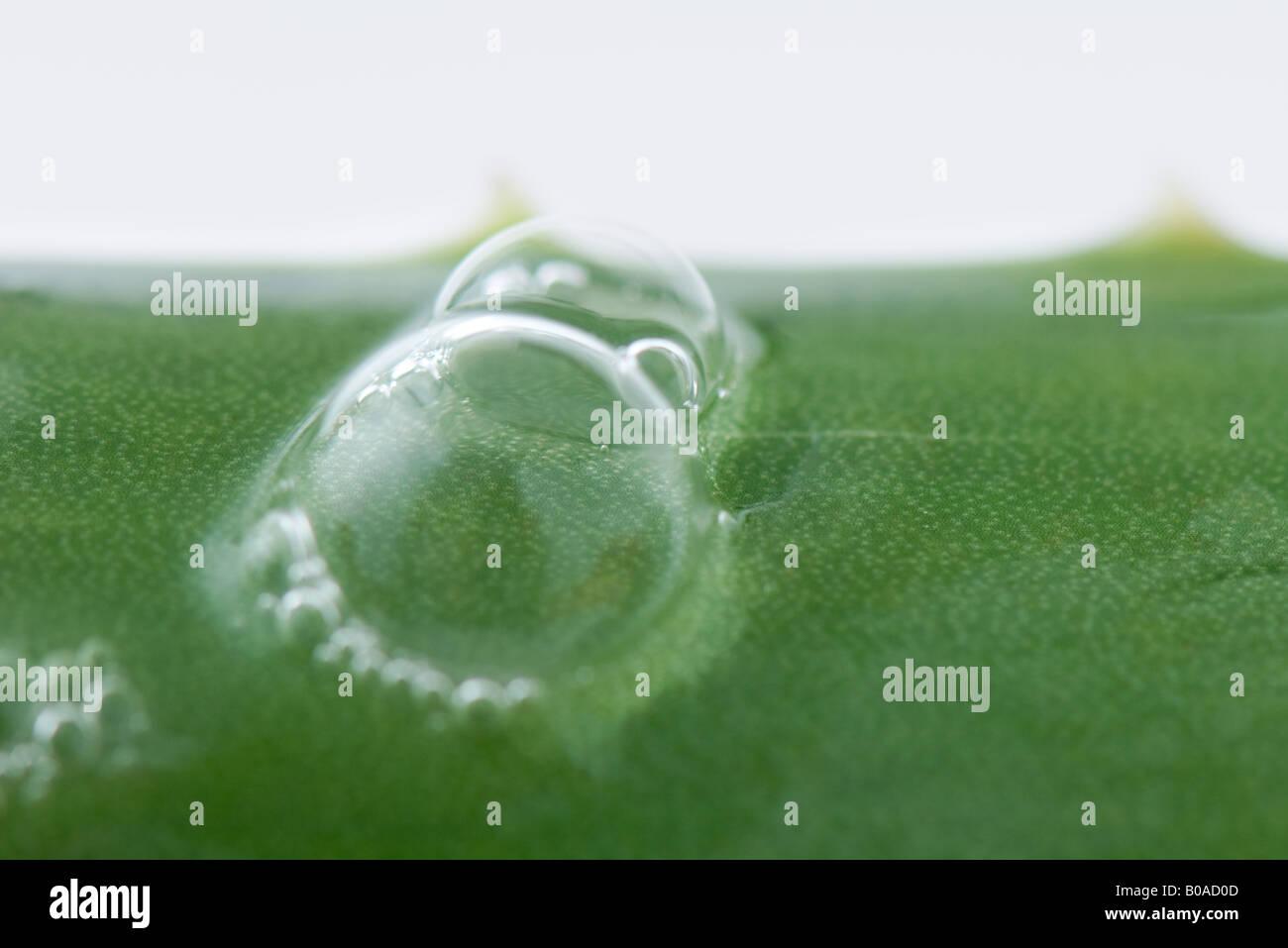 Bubbles on aloe vera leaf, extreme close-up - Stock Image