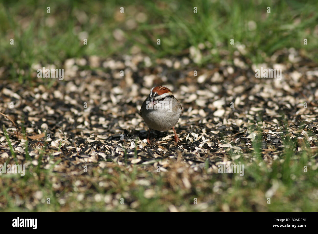 Chipping Sparrow eating sunflower seed tongue visible - Stock Image