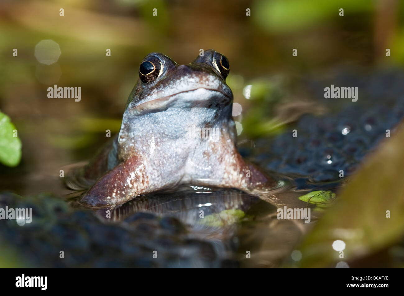 Female common frog (Rana temporaria) in a garden pond with frogspawn - Stock Image