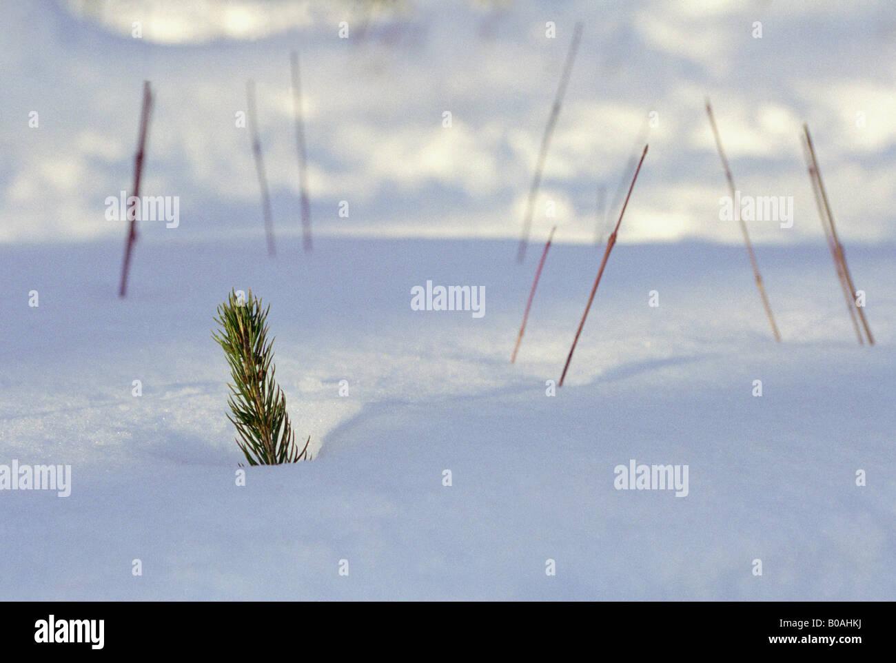 sapling emerging through snow - Stock Image