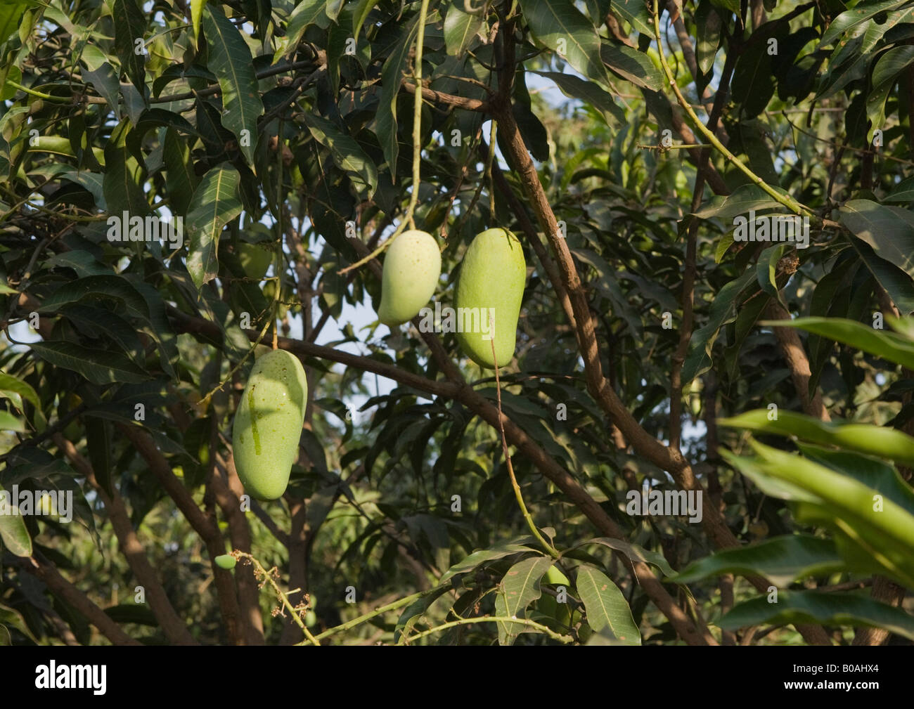 Mango tree with unripe green skinned 'kesar' variety of mangoes as seen in the month of April. - Stock Image