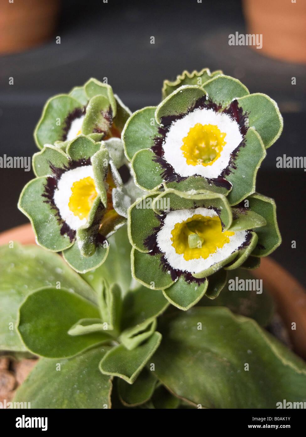 Primula auricula Glenelg in April UK - Stock Image