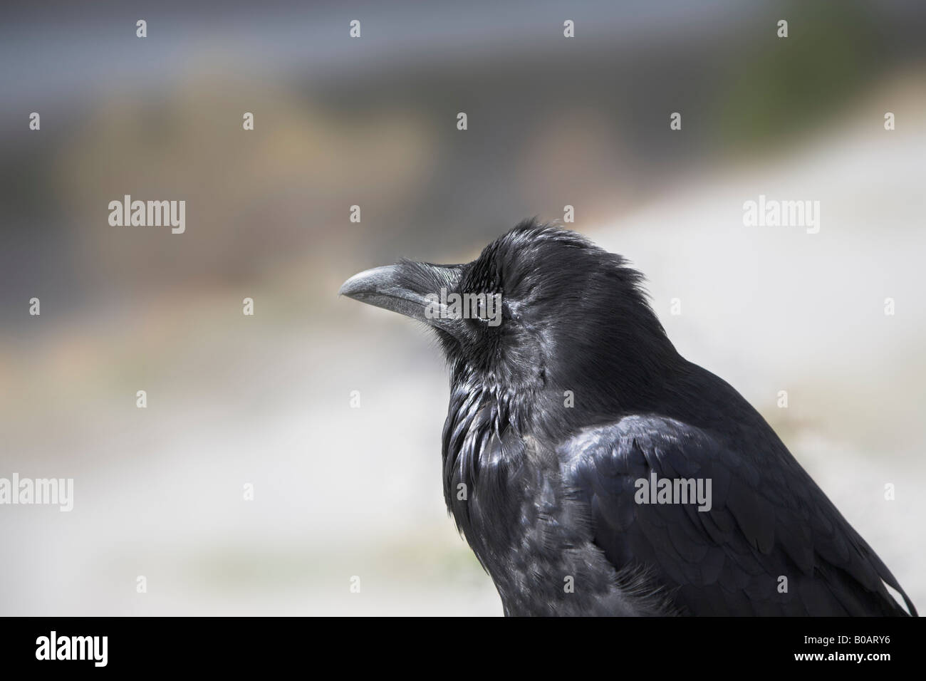 Black northern raven in reserve in Canada - Stock Image