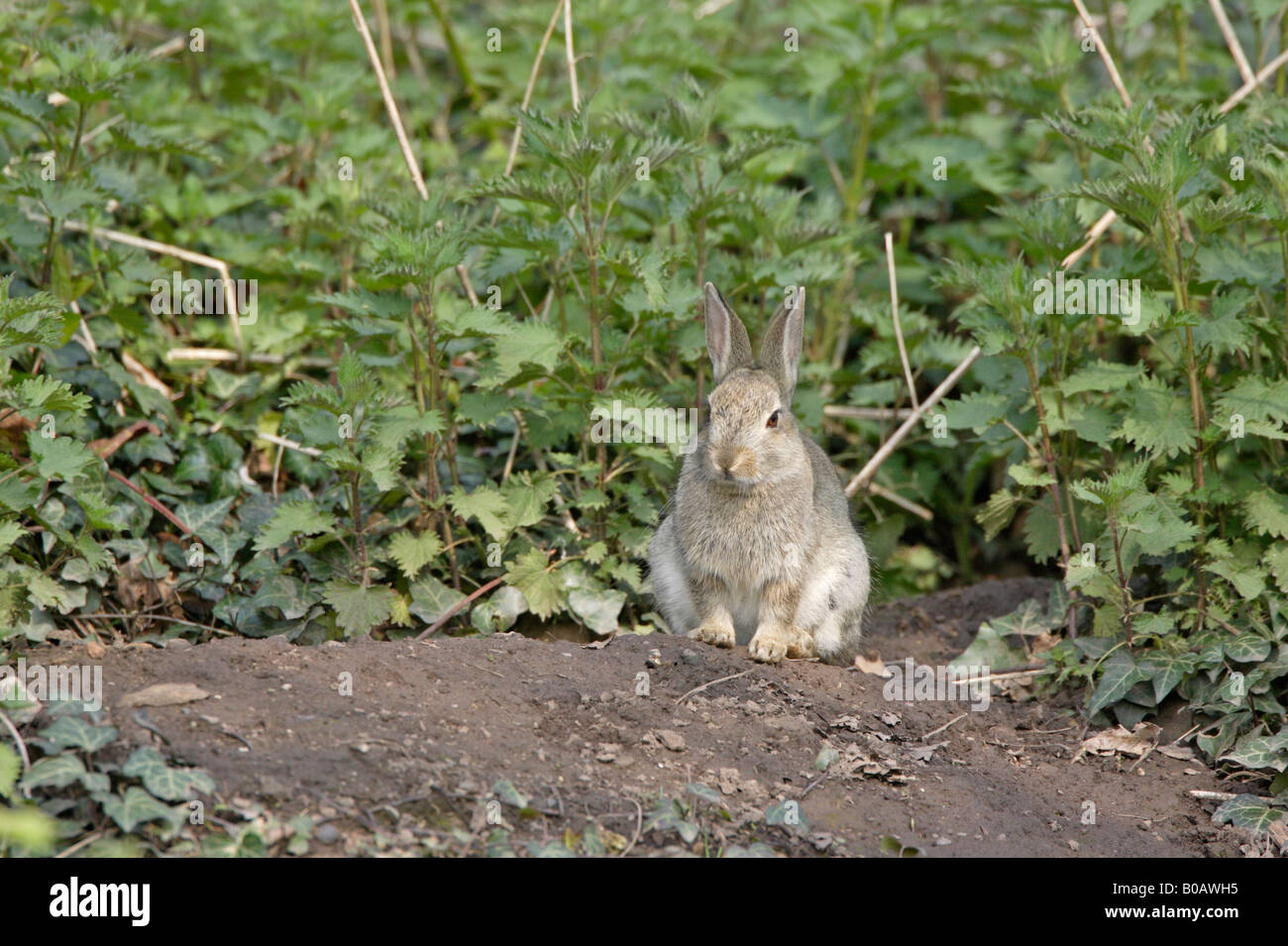 Young Rabbit siting outside a burrow in a Forest of Dean Garden - Stock Image