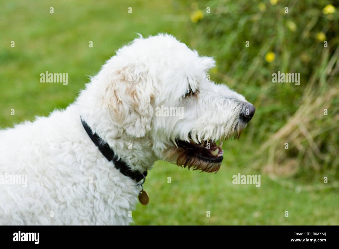 White goldendoodle dog Stock Photo: 17450850 - Alamy