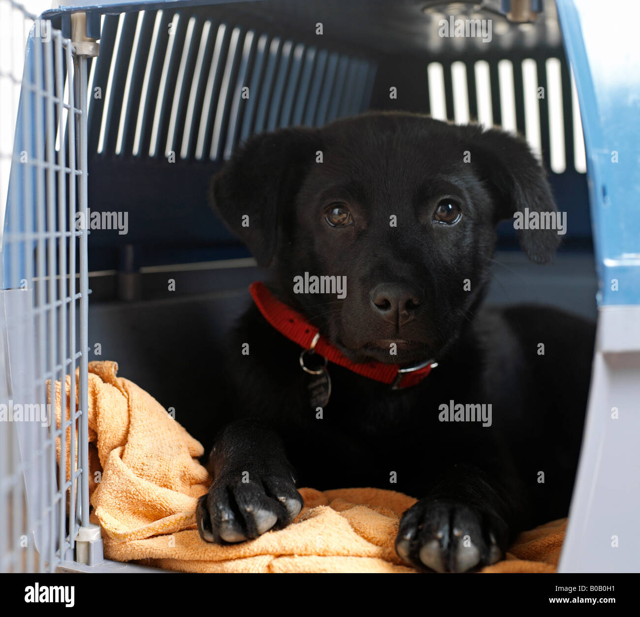 puppy in carrying basket - Stock Image