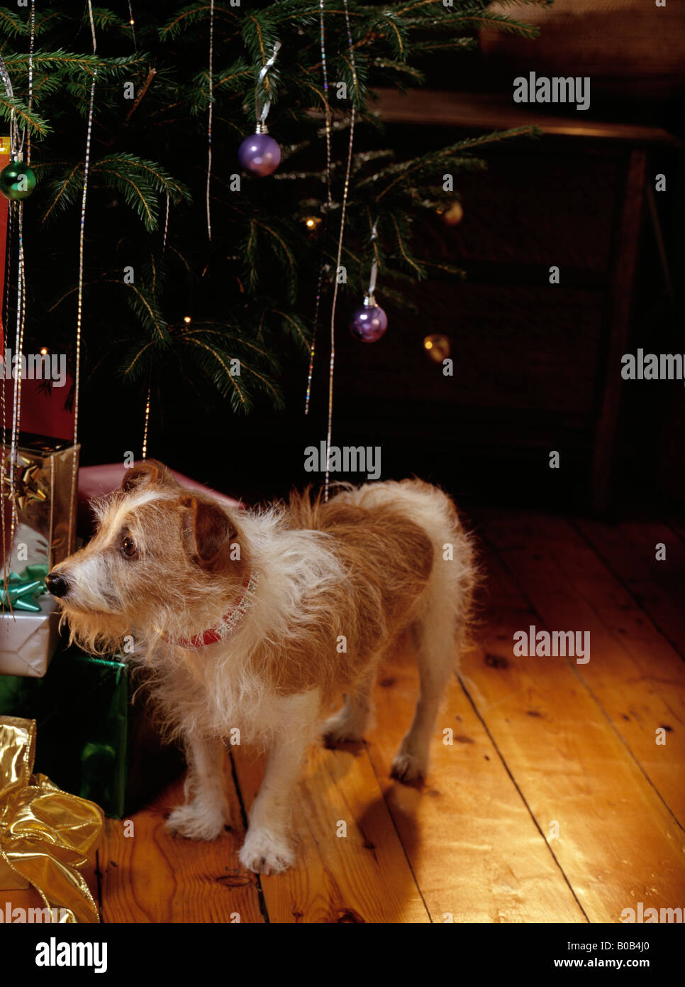 dog near presents under Christmas tree - Stock Image