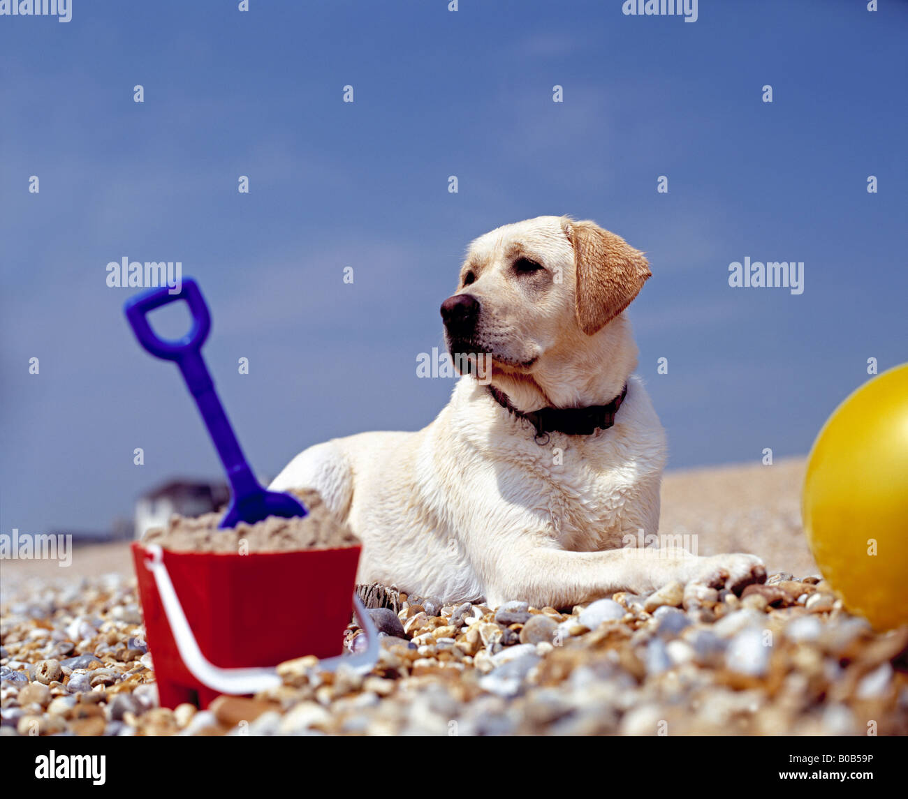labrador dog on beach with bucket & ball - Stock Image