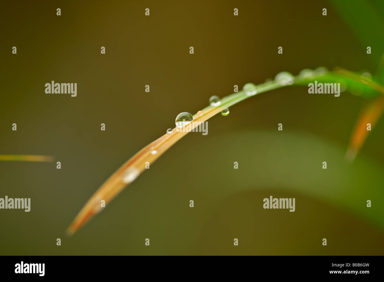 Dewdrops on a grass - Stock Image
