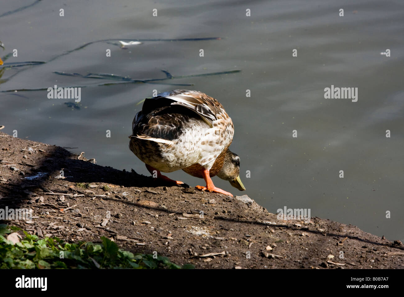 A duck about to take the plunge into a pond at Homebush, NSW, Australia - Stock Image