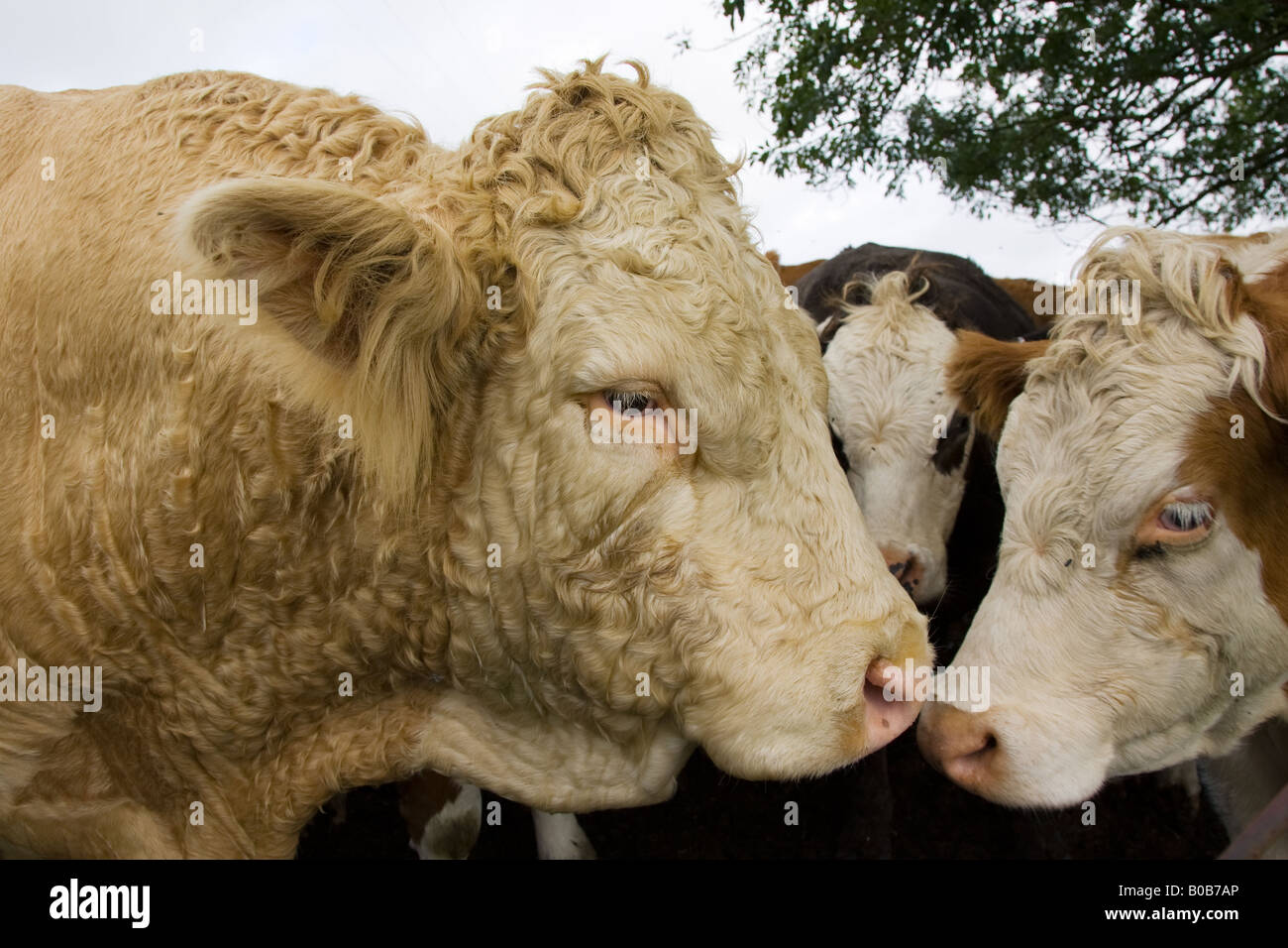 Bull nuzzles up to cows Hazleton Gloucestershire The Cotswolds England United Kingdom - Stock Image